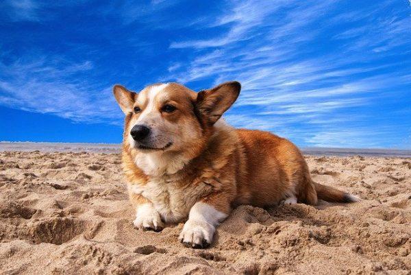 Corgi relaxing on beach.