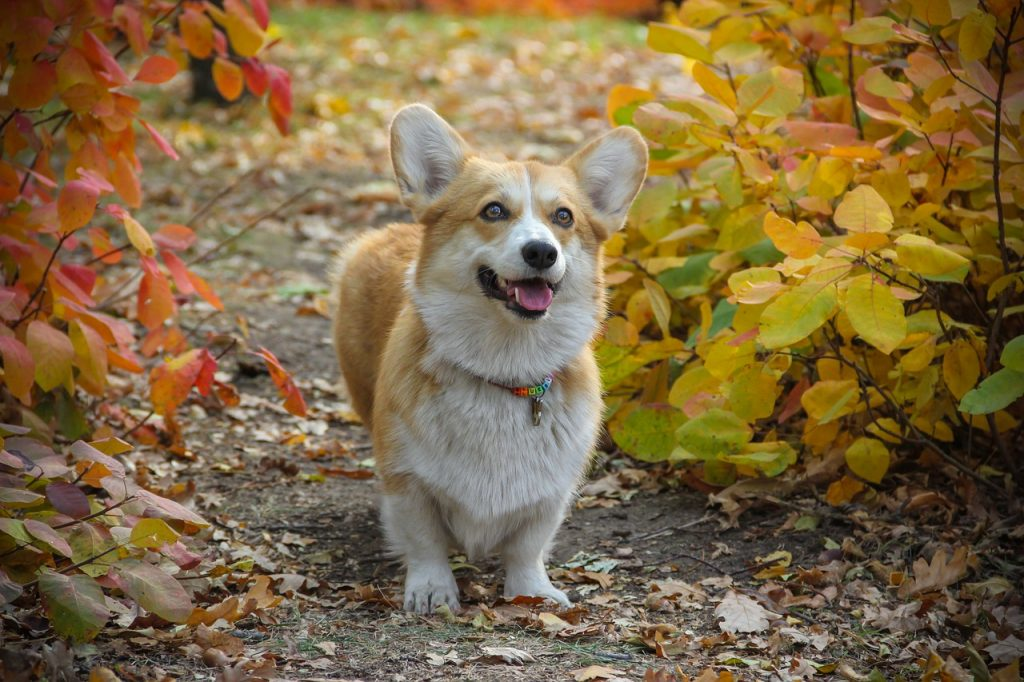 Corgis can't be left alone all day, they need to exercise.