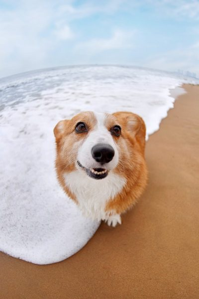 Corgi on beach.