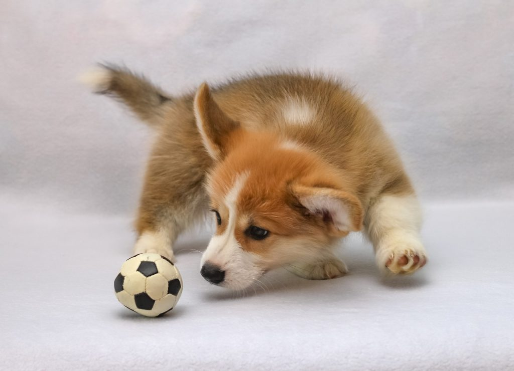 Corgi playing with ball.