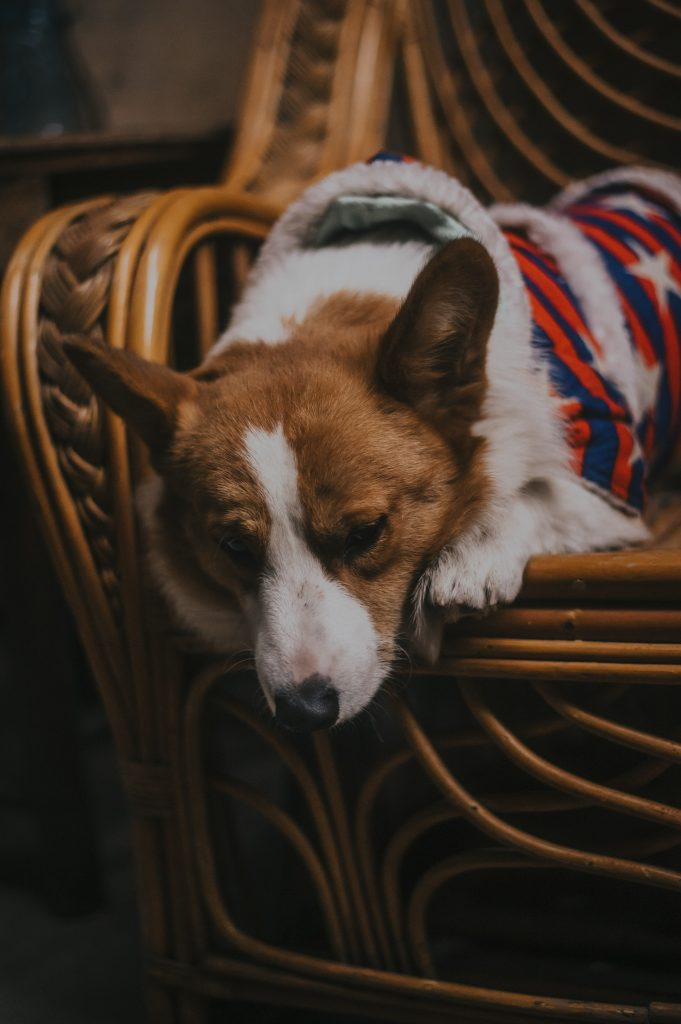 Corgi sleeping.