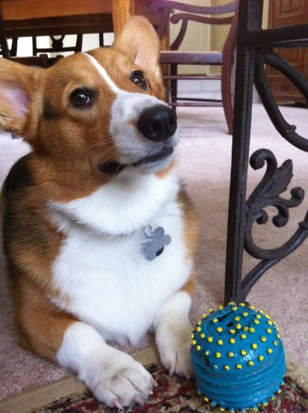 Corgis sploot because it's comfortable, like this one playing with a ball.