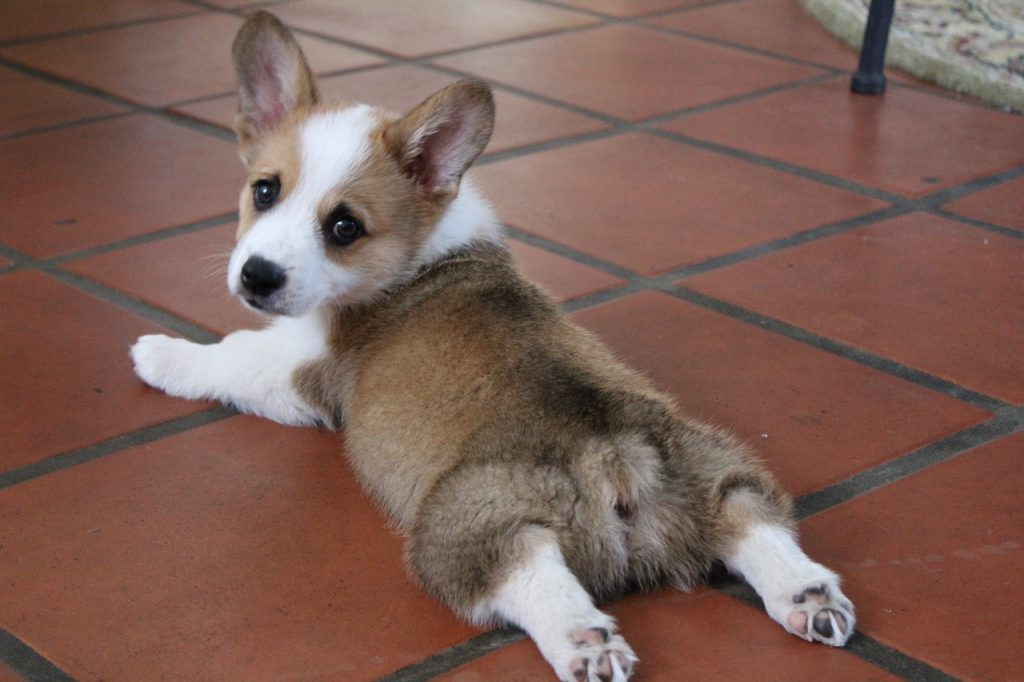 Corgi splooting on the floor.