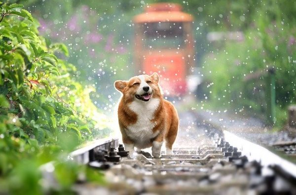 A happy corgi.