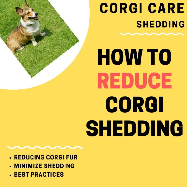 How to stop corgi from shedding