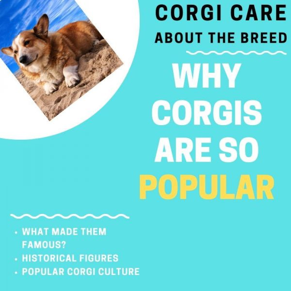 Why corgis are so popular
