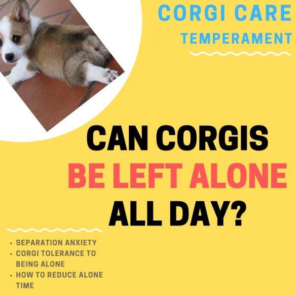 Can corgis be left alone?