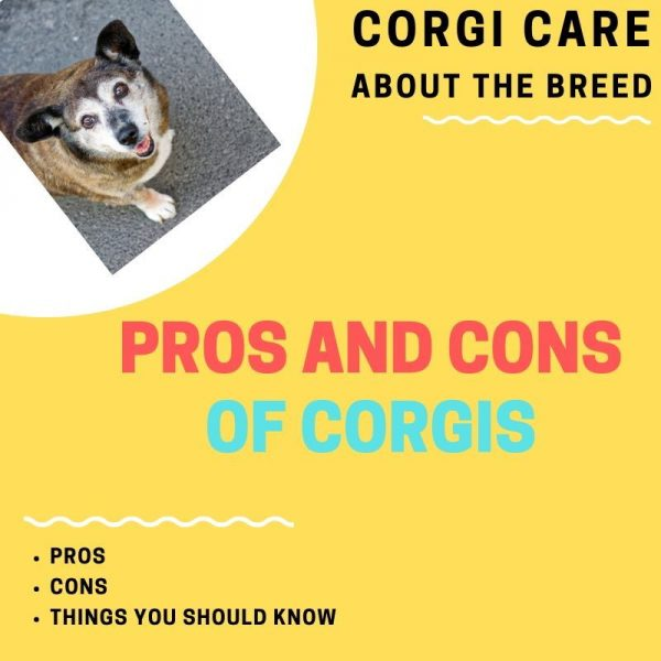 Corgi pros and cons of ownership.