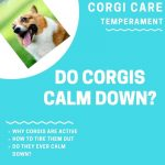Do Corgis Ever Calm Down? (How to Calm your Puppy Down)