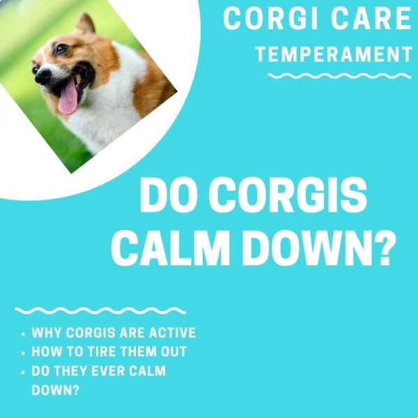 Do corgis calm down?