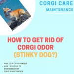 Why Does My Corgi Smell So Bad? (Get Rid of the Odor Now!)
