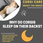 6 Reasons Why Corgis Sleep on Their Backs (Weird Sleeping Habits Explained!)