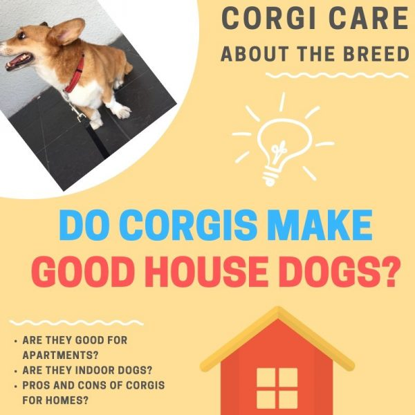Corgi as a house dog.