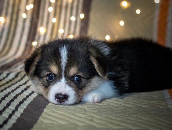 Are Corgis Good House Dogs Things You Should Know Corgi Adoption