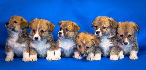 A bunch of corgi puppies.