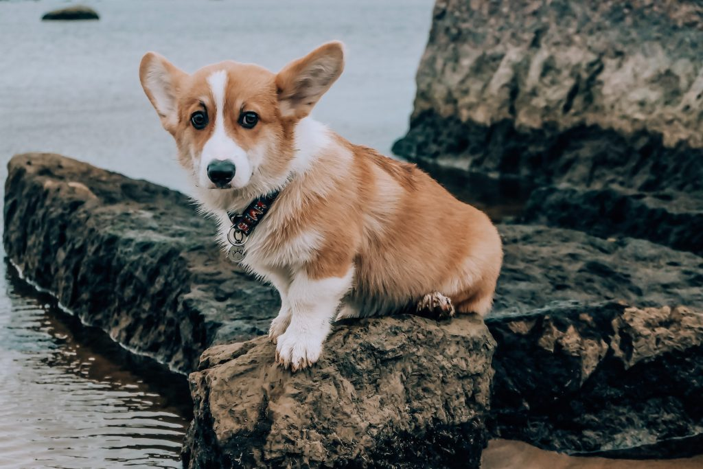 A corgi puppy with standing ears.