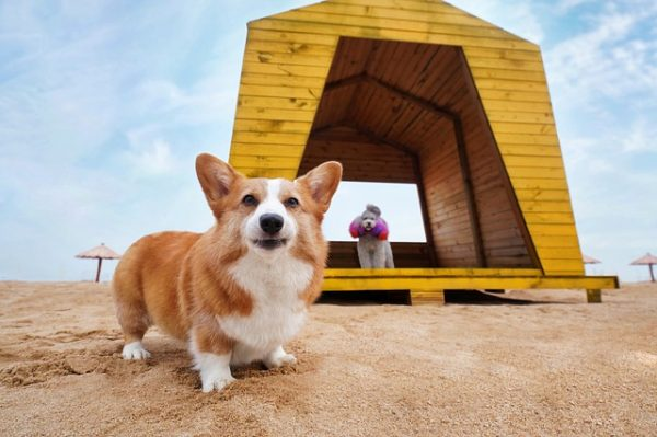 A corgi outdoors on the beach, which will need a bath afterwards.