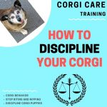 How to Discipline a Corgi Puppy (8 Easy Methods That Work)
