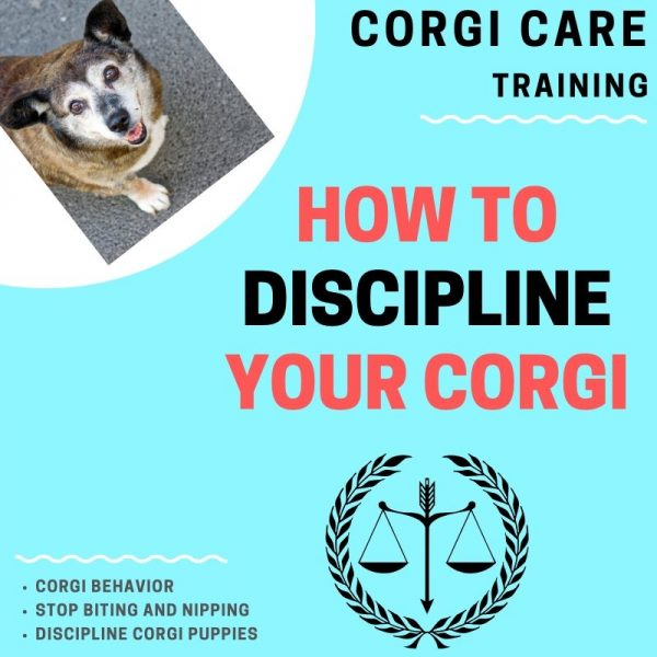 How to discipline a corgi puppy.