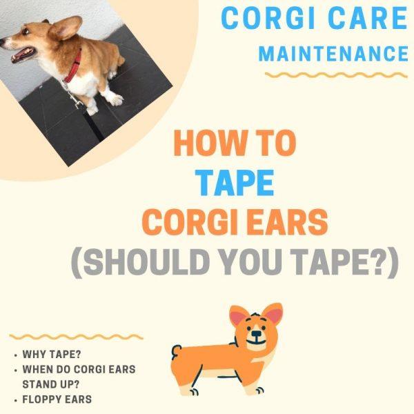 How to tape corgi ears.