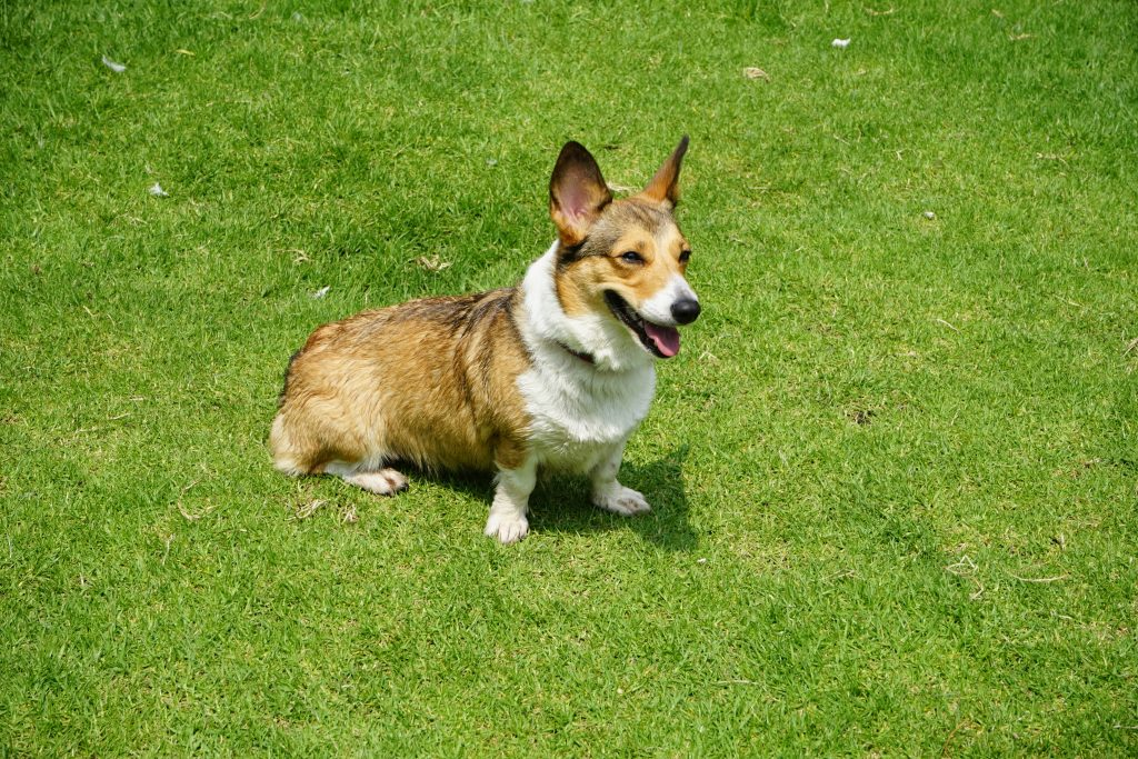 A corgi on the field with ears pointed.