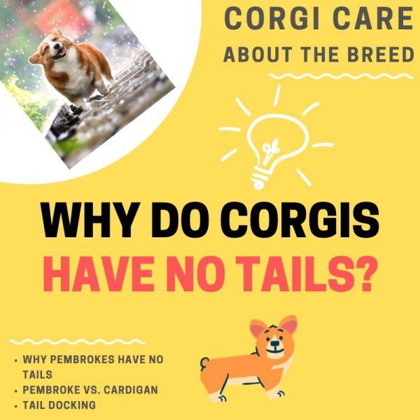 Why do corgis have no tails?