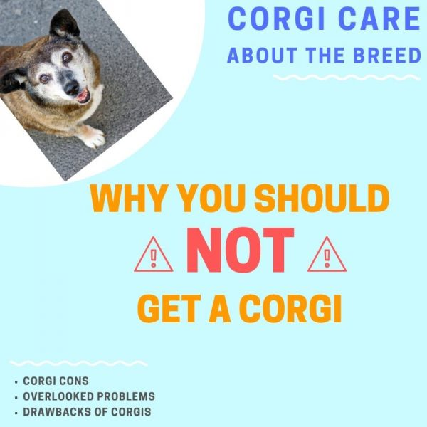 Why you shouldn't get a corgi.