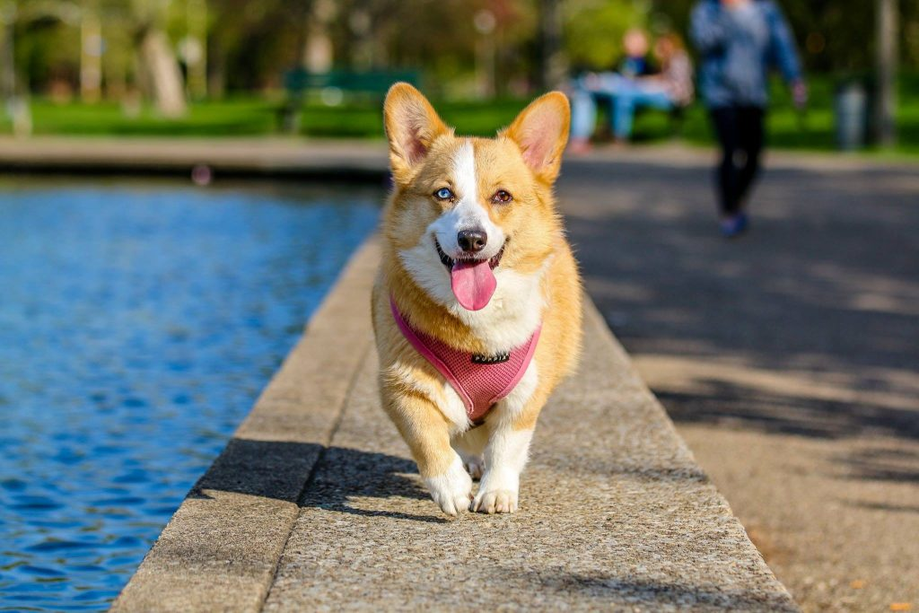 Corgi walking by pool.