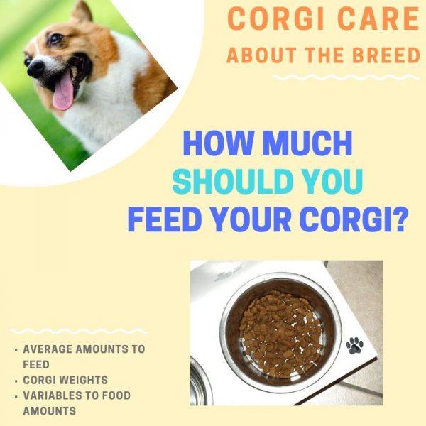How much to feed corgi.