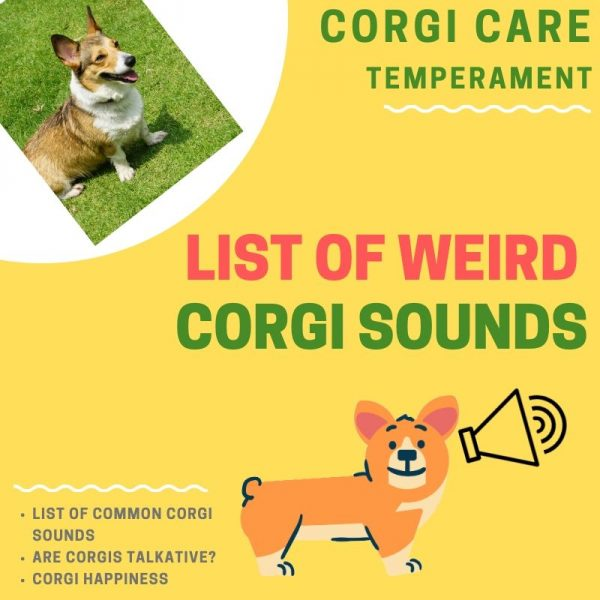 Why does my corgi make weird noises around me?
