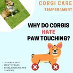 Why Does My Corgi Hate Having Its Paws Touched? (3 Reasons)