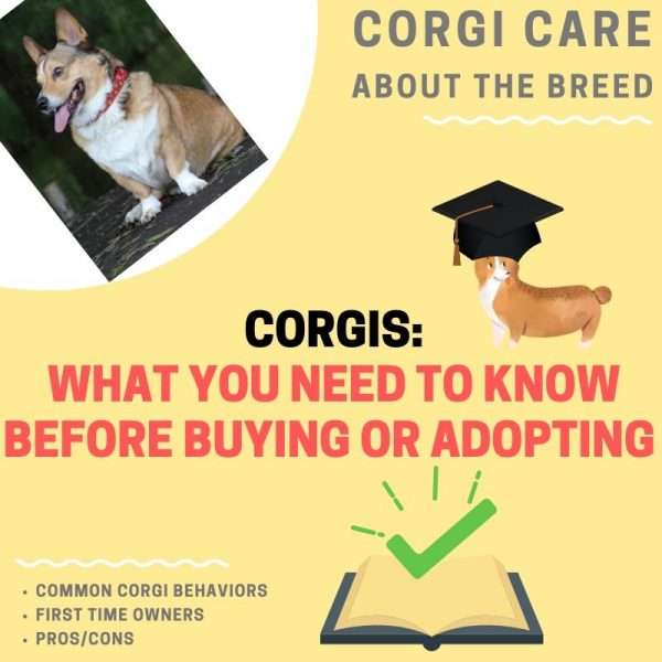What to know about corgis before you buy or adopt