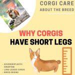 Why Do Corgis Have Short Legs? (Achondroplastic Dwarfism)