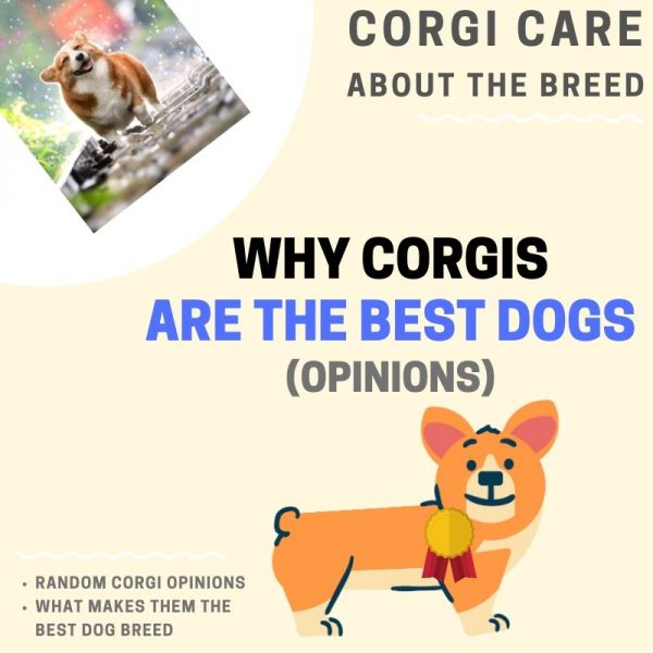 Why corgis are the best dogs.