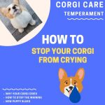 9 Ways to Stop Corgi Crying and Whining (Easy)