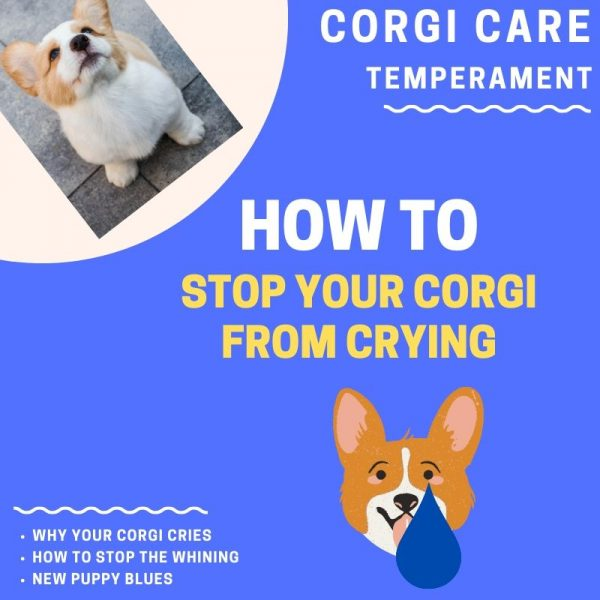How to stop corgi crying fast