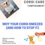 Why Does My Corgi Keep Sneezing? (Stop the Sneezes!)