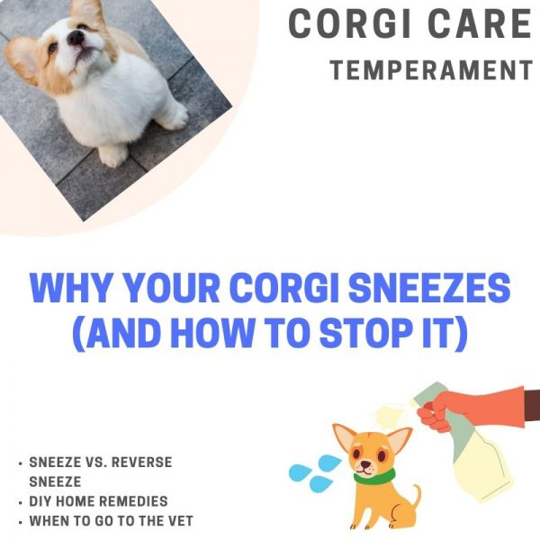 Why do corgis sneeze?