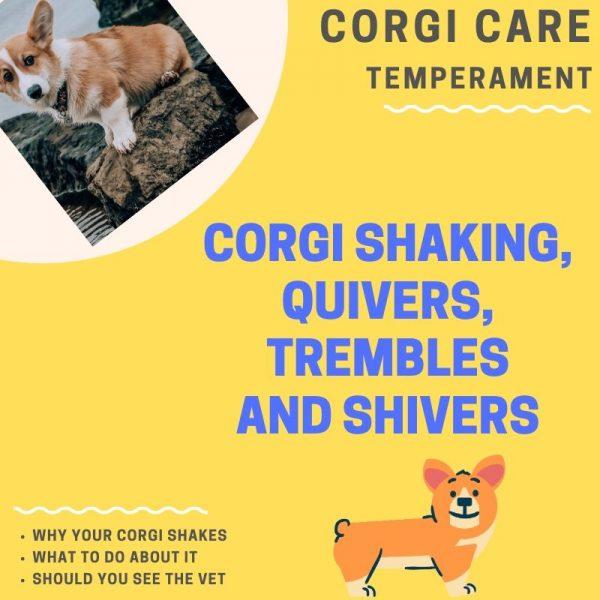 Corgi shaking, quivering, and trembling.