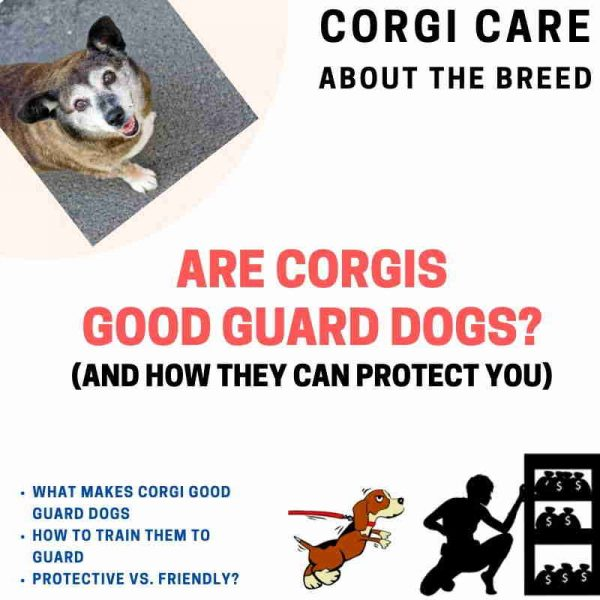 Are corgis good guard dogs?
