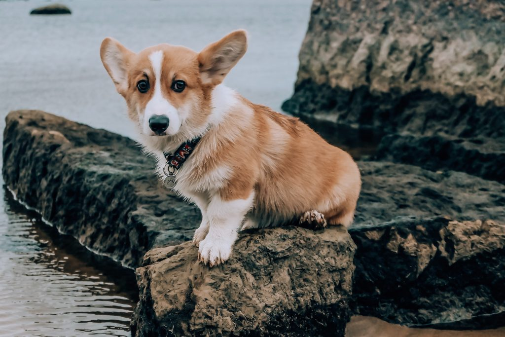 A corgi afraid of getting wet at the beach. Corgis like water, but only when properly trained.