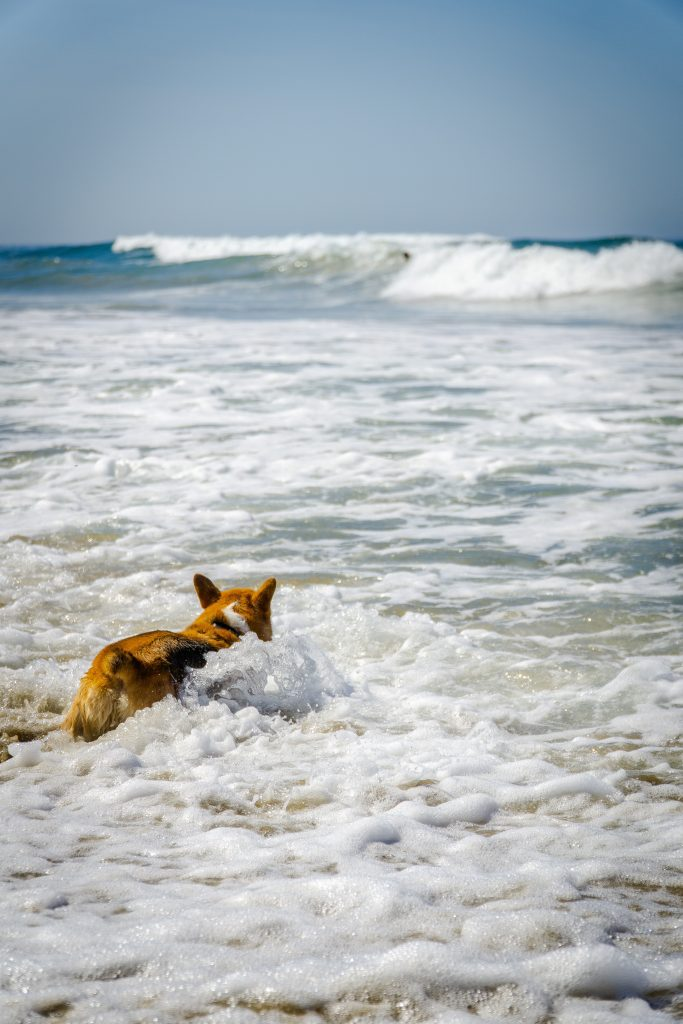 A corgi at the beach swimming.