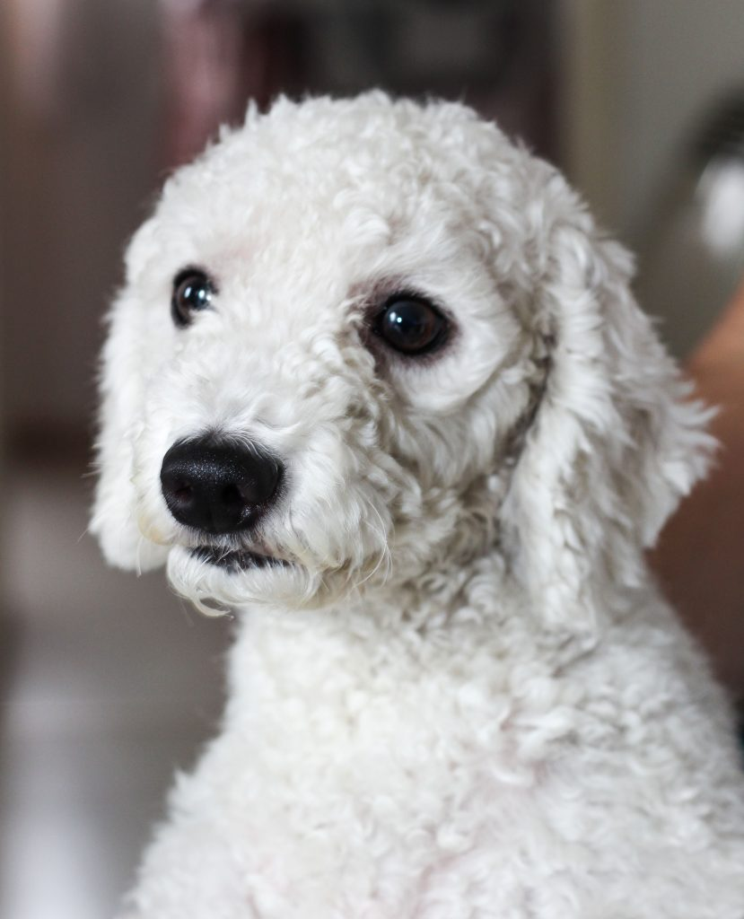 Poodles are hypoallergenic.