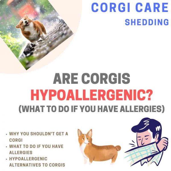 Are corgis hypoallergenic?