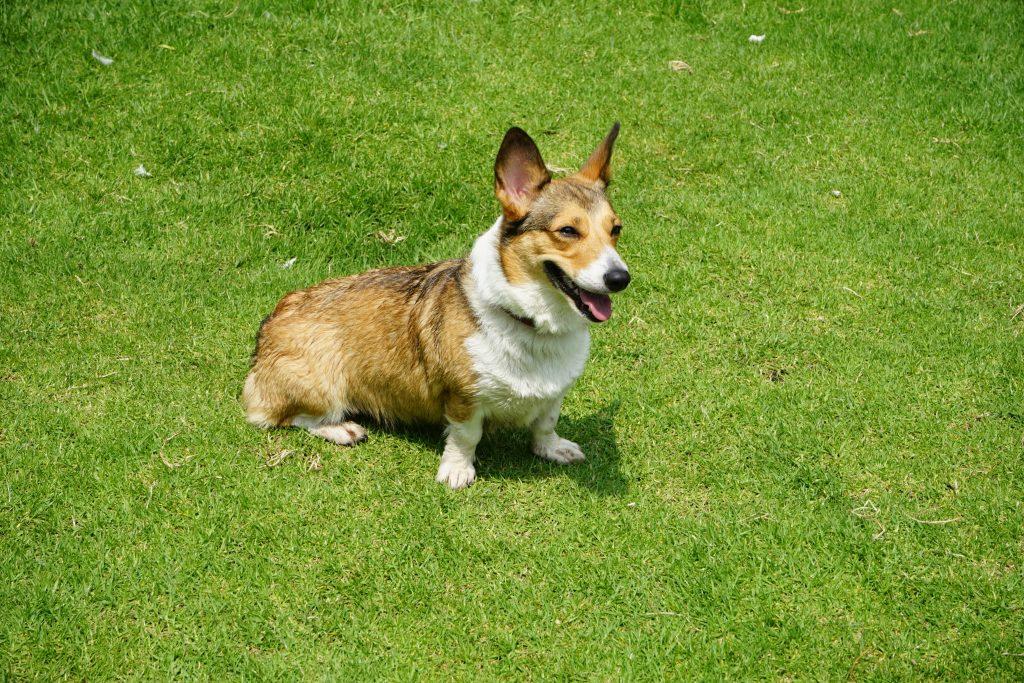 Corgi eats own poop on field.